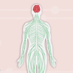 Illustration of body with brain and nervous system