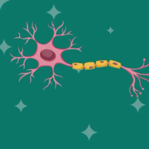 Illustration of nerve cell where shingles virus lives